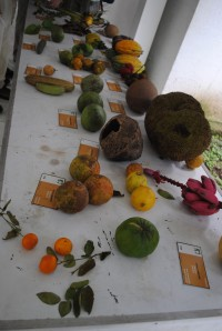 Learning tropical fruits at CATIE botanical gardens